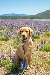 """""""Puppy in the Lupine Field"""" - Photograph of a Golden Retriever puppy in a field of Lupine wildflowers at Boca Reservoir in Truckee, California."""