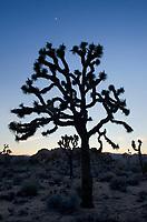 Silhouette of Joshua Tree (Yucca brevifolia), Joshua Tree National Park