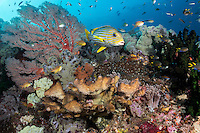 Ribbon Sweetlips among healthy corals<br /> <br /> Shot in Raja Ampat Marine Protected Area West Papua Province, Indonesia