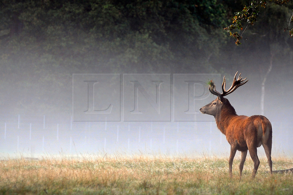 RICHMOND SURREY. A stag with a tuft of grass in his antlers. An autumnal morning at the beginning of the rutting season in Richmond Park, London. The males begin calling out and clashing antlers during the the season when they will compete with each other for the attention of females. 02 October 2010
