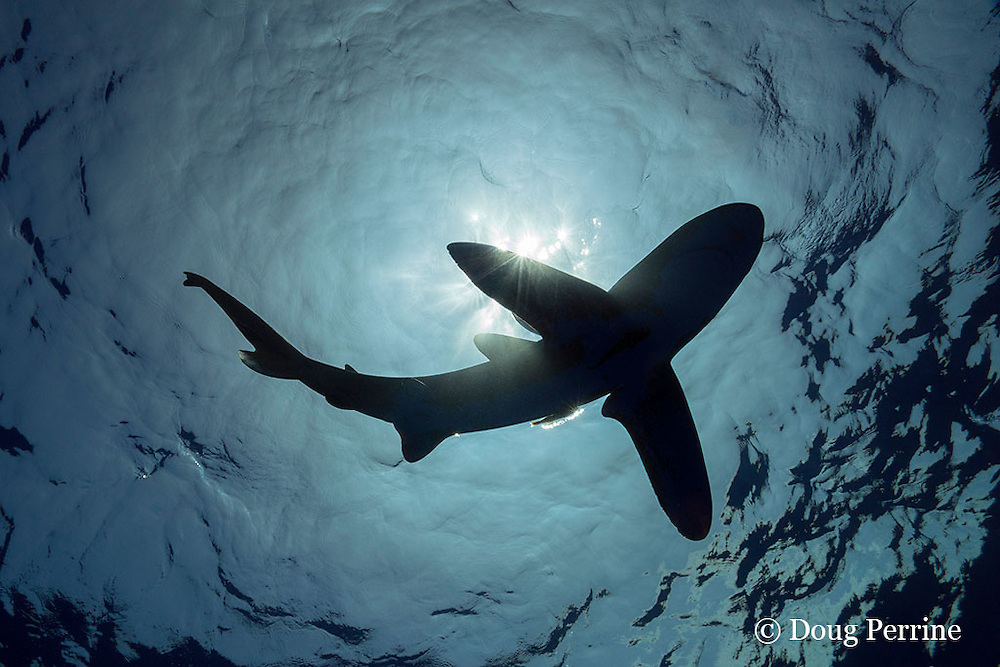 silhouette of oceanic whitetip shark, Carcharhinus longimanus, with a small sharksucker or remora, and commensal pilot fish, Naucrates ductor, swimming in open ocean waters off the Kona Coast of Hawaii Island ( the Big Island ), Hawaiian Islands, U.S.A. ( Central Pacific Ocean ) (dm)