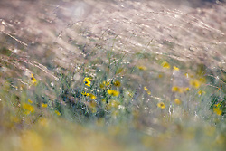 Wildflowers and grasses, Texas Hill Country (between Blanco and Fredericksburg), Texas, USA..