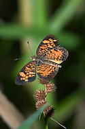 Butterfly, Northern Crescent, Phyciodes cocyta
