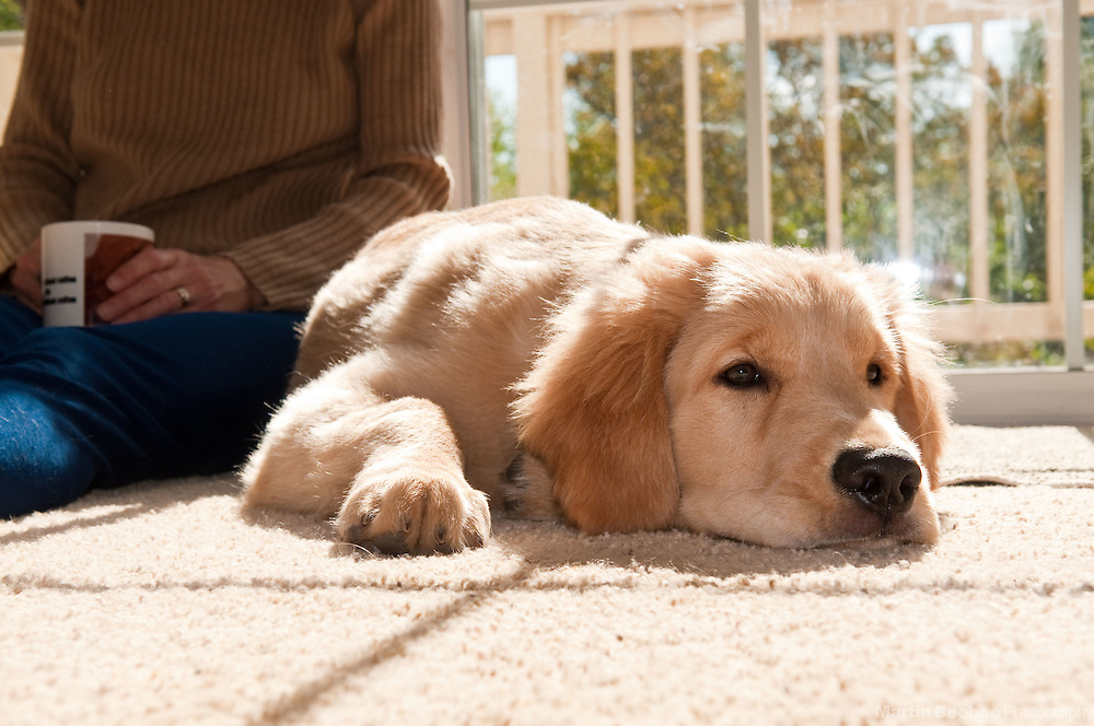 A four-month-old golden retriever puppy rests while his owner has morning coffee