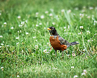 American Robin. Image taken with a Nikon D3s camera and 600 mm f/4 VR lens.