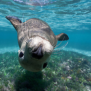 An inquisitive young Australian sea lion (Neophoca cinerea) swimming upside-down to investigate me. Photographed at Carnac Island, Western Australia.
