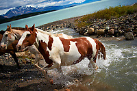 Horses crossing a stream at Estancia Helsingfors in Patagonia. Image taken with a Nikon D3s camera and 24-120 mm f/4  lens (ISO 200, 27 mm, f/4, 1/1600 sec)