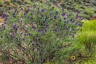 Desert sage in full bloom near Virgin, Utah, USA