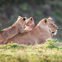 A lioness enjoys the morning sun as her young cubs playfully wake up.  Ngorongoro Crager, Tanzania.