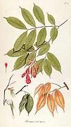 Hand painted botanical study of flower anatomy from Fragmenta Botanica by Nikolaus Joseph Freiherr von Jacquin or Baron Nikolaus von Jacquin (printed in Vienna in 1809)