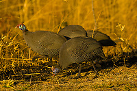 Helmeted Guineafowl, Kruger National Park, South Africa