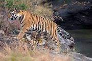 Bandhavgarh - Thursday, Dec 21 2006: Bengal tiger (Panthera tigris tigris) in Bandhavgarh National Park. (Photo by Peter Horrell / http://www.peterhorrell.com)