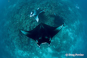 reef manta rays, Manta alfredi (formerly Manta birostris ), at cleaning station on coral reef; the mantas at center and top left are females with dark mating scars on the left pectoral wing tip; Manta Point, Lankan, North Male Atoll, Maldives ( Indian Ocean )
