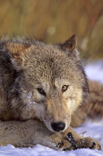 Gray Wolf, (Canis lupus) Portrait of adult resting. Captive Animal.