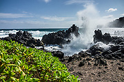 Waves crash along the scenic peninsula of Laupahoehoe Point County Park, on the Hamakua Coast, Big Island, Hawaii, USA. The plant called Beach Naupaka (Scaevola sericea, synonyms: Lobelia taccada, Scaevola taccada) is native to Hawaii and is also known as Naupaka Kahakai, or Half-flower. Its flower is white or cream usually tinged with purple, pale purple, or tan. According to Hawaiian legends, the one-sided flowers of Beach Naupaka are a symbol of lovers torn apart and never reunited. The corky seeds are buoyant and can remain viable in the ocean for a year as they are carried to new shorelines. The leaves have curled-under edges and are shiny, bright green, somewhat succulent, alternate, and obovate in shape with a broad, rounded tip. The plants are dense, spreading, mounding, thicket-forming shrubs. In Hawaii, Beach Naupaka grows wild along the coastlines and is also used as a landscaping or hedge plant in coastal areas because of salt tolerance and attractive form.