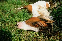 Dood paard, Equus ferus caballus