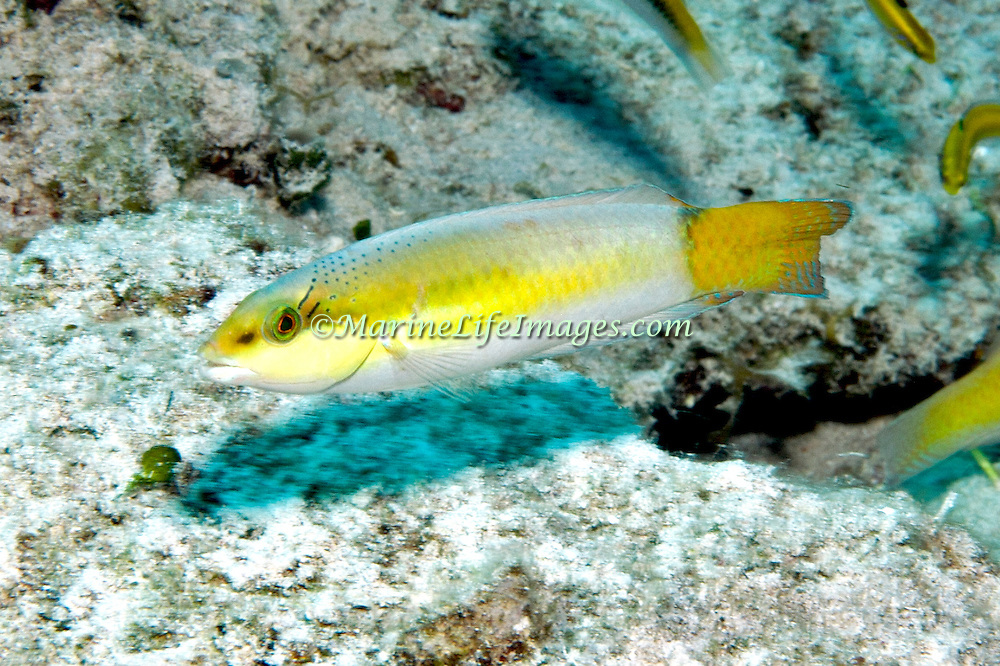 Yellowhead Wrasse consatantly swim about reefs in Tropical West Pacific; picture taken Little Cayman.