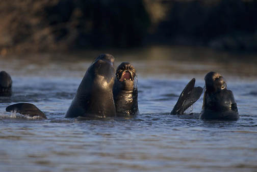 Northern Elephant Seal, (Mirounga angustirostris) Young males sparring in lagoon. California.