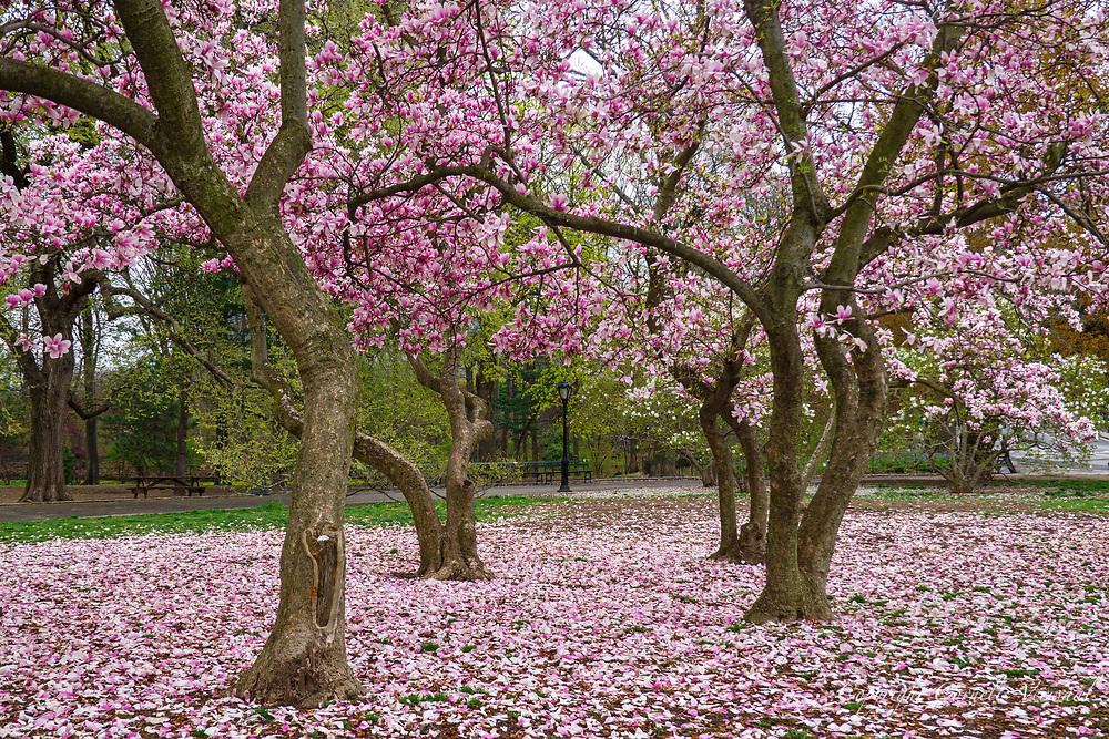 Magnolia trees near the Pinetum East, Central Park, April 9, 2020.