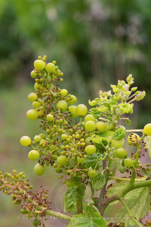 Grape buds. Grenache. Domaine Boucabeille, Corneilla la Riviere, Roussillon, France