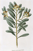 Sprig of White Cinnamon: Canella alba.The dried inner bark of this plant provided Cinnamon which is used in medicine and as a condiment. Grown in Ceylon (Sri Lanka), The Malabar Coast, Burma, South America and the West Indies. From 'Nature Displayed' by Simeon Shaw. (London, 1823). Hand-coloured engraving.