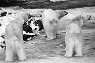 Schweden, SWE, Kolmarden, 2000: Drei auf einem Eisfeld stehende Eisbaeren (Ursus maritimus) gucken in die gleiche Richtung, Kolmardens Djurpark. | Sweden, SWE, Kolmarden, 2000: Polar bear, Ursus maritimus, three polar bears on an ice field looking the same direction, Kolmardens Djurpark. |