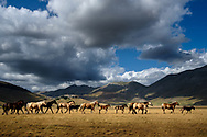 A group of horses is crossing the Piana grande di Castelluccio within the Sibillini Mountains National Park in the central Italian region of Umbria