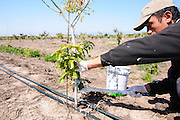 worker whitewashes a young avocado sapling to protect the young tree. Photographed in Israel in March