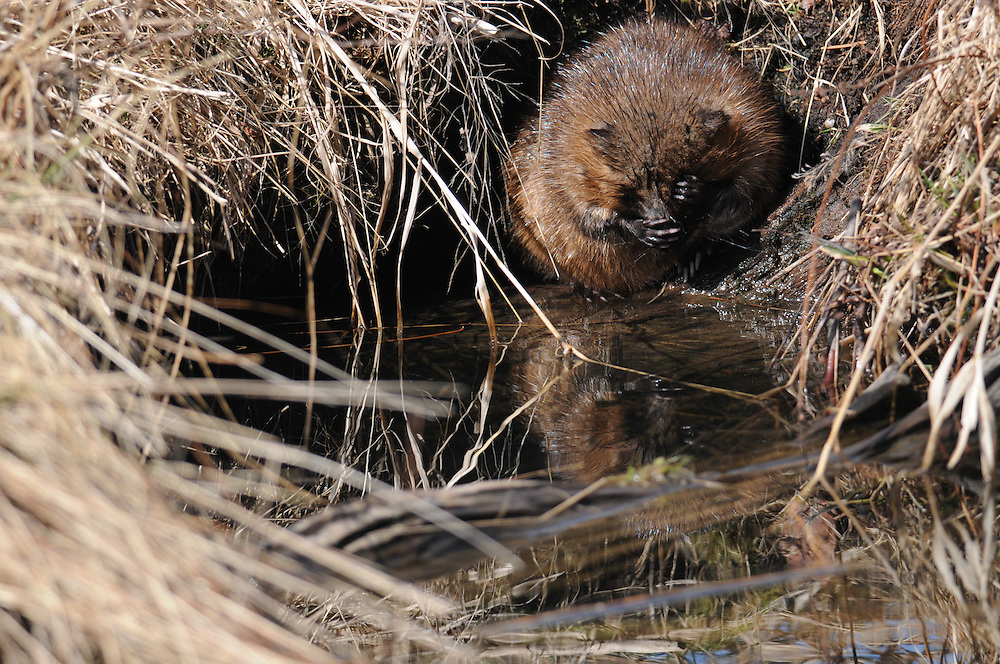 Muskrat pawing his face while hiding int his marsh.