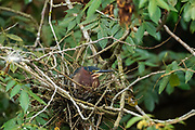 Green heron (Butorides virescens) in its nest. This bird is found in wetlands from southern Canada to northern South America. Like all herons, it uses its long legs to wade in water to catch its prey of fish and other water animals using its long beak. Its body length is generally less than 50 centimetres. Photographed in Costa Rica in June