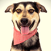 A German Shepherd poses for a dog photo at the Sacramento City animal shelter.