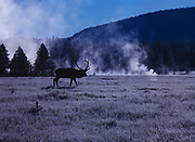 Bull Elk silhouetted by rising steam on a frosty morning, Elk Park, Yellowstone National Park, Wyoming.