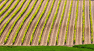 Tuscany vineyard field in springtime
