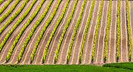 Tuscany vineyard field in springtime