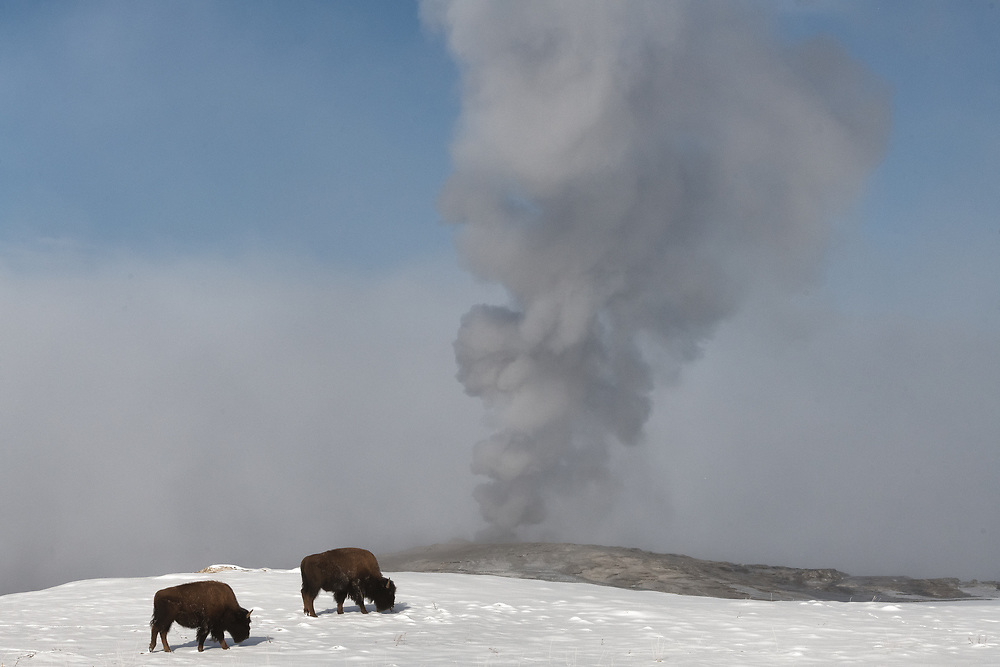 Bison feed near Old Faithful