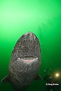 Greenland sleeper shark, Somniosus microcephalus, and photographer, St. Lawrence River estuary, Canada; eye of shark is infected with copepod parasite, Ommatokoita elongata MR 373