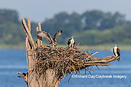 00783-02114 Osprey (Pandion haliaetus) juvenile exercising wings at nest Rend Lake Jefferson Co. IL
