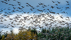 Geese Migration, South Lanarkshire, 1 November 2018