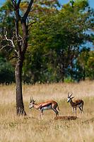 Springbok, Lion Park, near Johannesburg, South Africa.