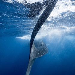 sardine run, mexico, yucatan, requin baleine, whale shark, Rhincodon typus