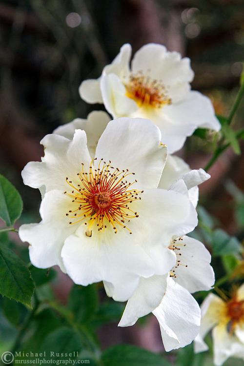 """Shrub rose """"Golden Wings"""" blossoms"""