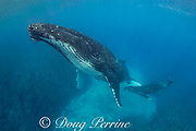 humpback whale mother and calf, Megaptera novaeangliae, rest over a shallow coral reef, near Nomuka Island, Ha'apai group, Kingdom of Tonga, South Pacific; the calf is swimming underneath its mother near her mammary slits, possibly hoping to nurse