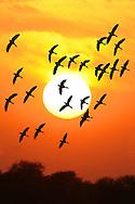 Lesser Whistling-ducks At Sunset - Dendrocygna javanica