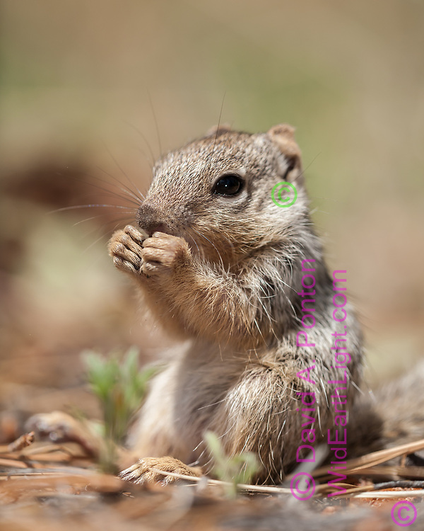 Young rock squirrel sits up to free up its front feet to enable nibbling something it found on the floor of a ponderosa pine forest, Grand Canyon National Park, south rim, © David A. Ponton