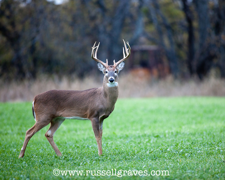 WHITETAIL DEER FEEDING IN A FALL FOOD PLOT