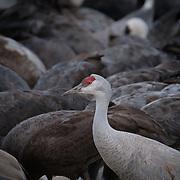 amongst the Hooded Cranes in Kyushu, Japan