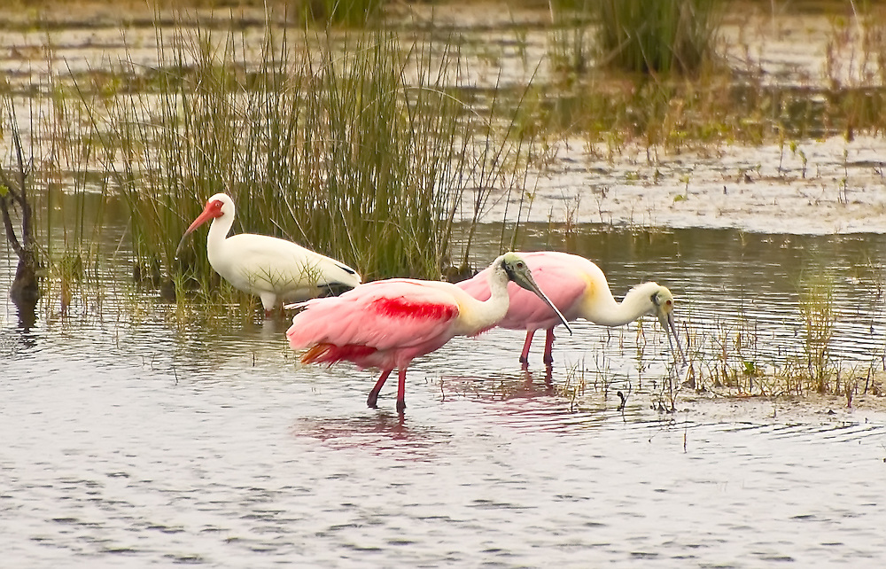 A pair of roseate spoonbills and a white ibis hunt for small fish and crustaceans in the shallow waters of Merritt Island, on Florida's East Coast.