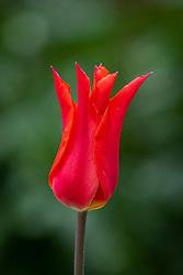 Tulipa check id