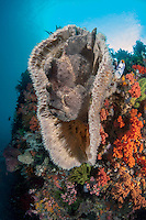 A Giant Frogfish perched inside a Elephant Ear Sponge<br /> <br /> Shot in Indonesia