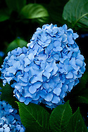 The blue hydragea is a common landscape planting on Cape Cod.
